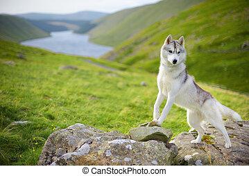 Siberian Husky - portrait of Siberian Husky dog, Talla,...