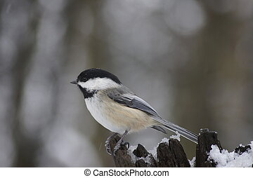 Winter chickadee - Black capped chickadee on a snowy log in...