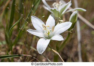 Star-of-Bethlehem - Flowers of Star-of-Bethlehem,...