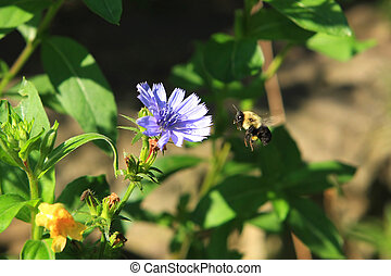 Bumble Bee Feeding On Chickory In Morning Sun