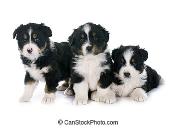 puppies australian shepherd - puppies australian shepherd in...