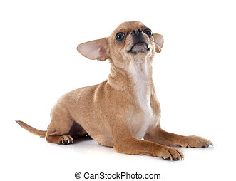 chihuahua - purebred chihuahua in front of white background
