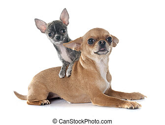 chihuahuas - adult and puppy chihuahua in front of white...