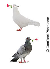 doves -  white pigeons with a rose on a white background