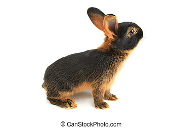 brown rabbit on a white background
