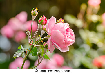 beautiful pink rose in a garden - close up beautiful pink...