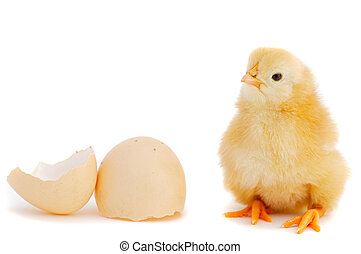 Adorable baby chick - A baby chick over a white background...