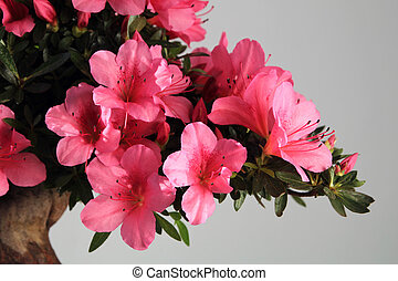 blooming bonsai azalea on a gray background