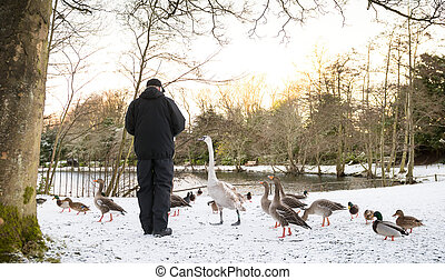 Unrecognisable senior man feeding wild birds , snow covered...