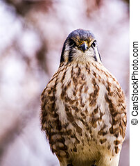 American Kestral in Winter Setting - Close up of American...