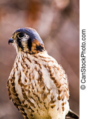American Kestral in Winter Setting - Profile of American...