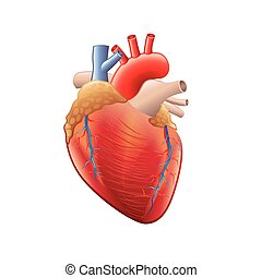 Human heart anatomy isolated on white vector - Human heart...