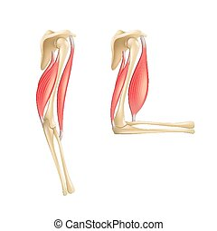 Elbow joint anatomy isolated on white vector - Elbow joint...