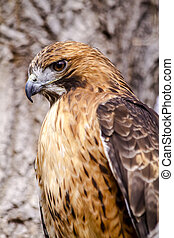 Red Tail Hawk in Winter Setting - Profile of Red Tail Hawk...