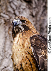 Red Tail Hawk in Winter Setting - Red Tail Hawk perched in...