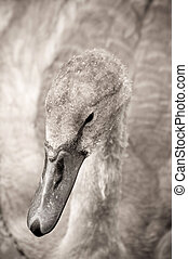 signet - swan signet with water droplets on its feathers