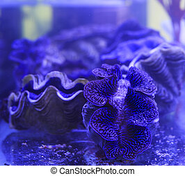 Giant Clam under blue light