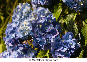 blue hortensia flowers - close up of blue hortensia flowers