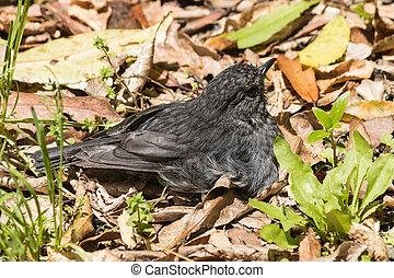 North Island robin basking in sun