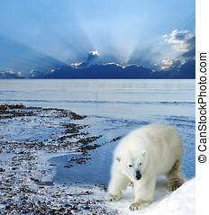 Polar, bär, kueste