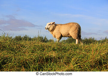 Wooly sheep grazing in the field.