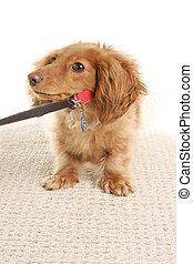 Dachshund puppy - Stubborn Dachshund puppy refusing to move....