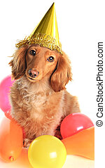 Birthday dachshund dog wearing a party hat.
