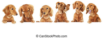 Dachshund puppy - Six Dachshund puppy toppers, add your own...