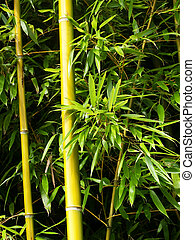 Bamboo shoots - Two bamboo shoots with green leaves in a...