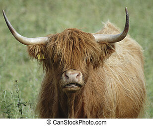 Highland Cow Face - Portrait of a highland cow in Scotland