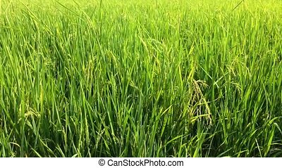 rice fields with windy