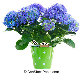blue hortensia flowers in green pot isolated on white...