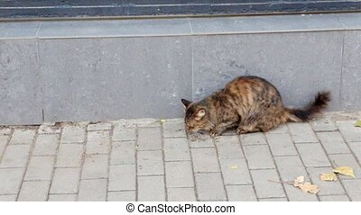Stry tom cat eating in the street full HD footage.