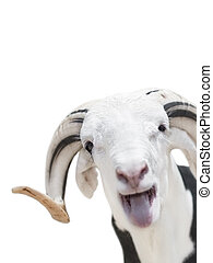 Sahelian Ram, isolated - Sahelian Ram with a white and black...