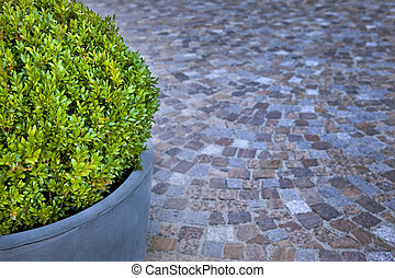 Boxwood in a pot on a paved square