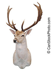 12 Point Fallow Stags Head isolated with clipping path