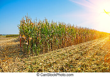 rows of tall corn on field sunrise at harvest