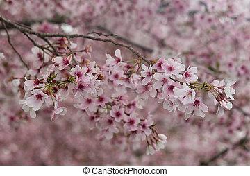 cherry blossom - close up of cherry blossom
