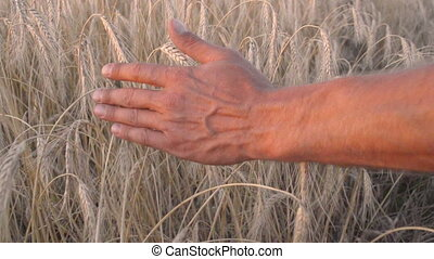 Mans hand amongst ears of wheat - Mans hand amongst ripening...