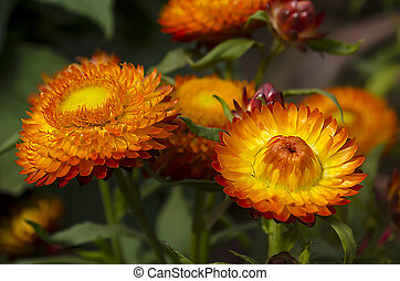 Everlasting or strawflowers