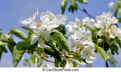 Blossoming apple-tree against the blue sky