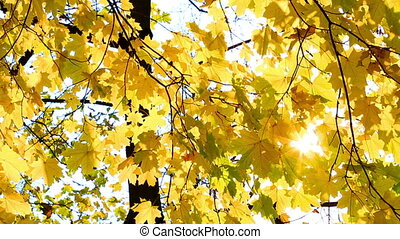 Sunshine are visible through yellow autumn leaves of a maple