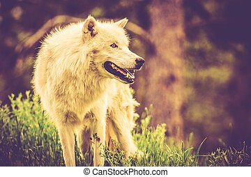 The White Alpha Wolf - Old White Alpha Wolf Vintage...