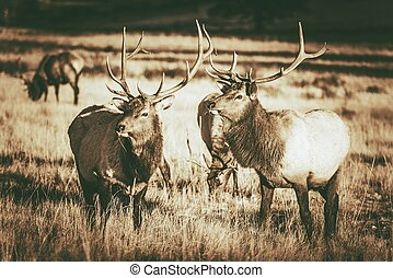 Colorado Elks Gang in Estes Park. Colorado Wildlife. Vintage...