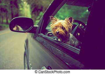 Traveling with Dog - Dog Traveling in a Car. Silky Terrier...
