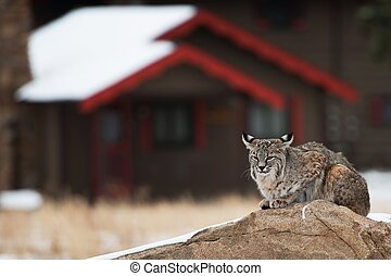 Bobcat in Residential Area. Colorado Bobcat Resting on the...