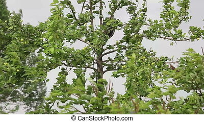 pear tree at the wind