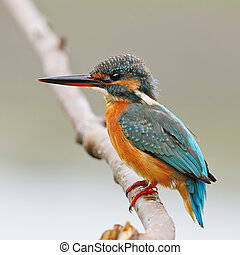 female Common Kingfisher - Colorful Kingfisher bird, female...