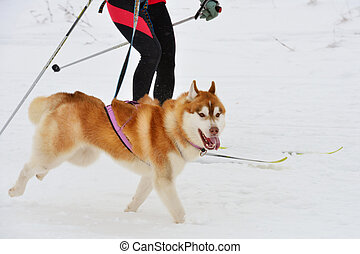 Husky dog during skijoring competition - Husky dog and...