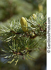 New cones of Atlas cedar - Pollen cones of Atlas cedar...